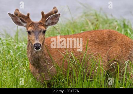Ritratto di un maschio costiere Sitka black-tailed deer (Odocoileus hemionus sitkensis) lungo la British Columbia Foto Stock