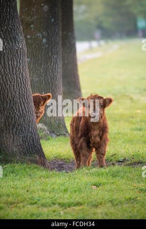 Paesi Bassi, Schinveld, riserva naturale Roode Beek. Highland scozzesi bovini Foto Stock