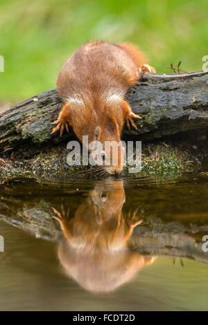Paesi Bassi, 's-Graveland, 's-Gravelandse Buitenplaatsen, Rurale Hilverbeek station wagon. Eurasian scoiattolo rosso Foto Stock