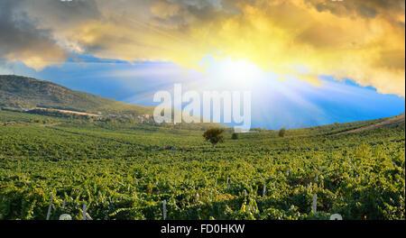 Sunrise in montagna su un campo di uva. Vigneti nelle montagne della Crimea