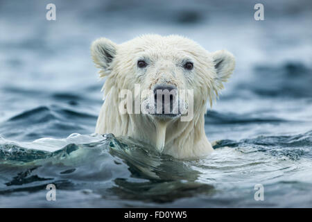 Canada, Nunavut Territorio, Repulse Bay, orso polare (Ursus maritimus) nuotare vicino a Harbor Islands Foto Stock