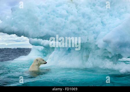 Canada, Nunavut Territorio, vista subacquea di Orso Polare (Ursus maritimus) nuotare vicino al Circolo Polare Artico Foto Stock
