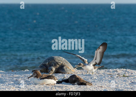 Un bambino curioso brown booby, Sula leucogaster, indaga su una tartaruga verde, Chelonia Mydas, French Frigate Foto Stock