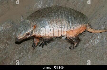Primo piano di un Sud Americana big hairy armadillo (Chaetophractus villosus) visto di profilo Foto Stock
