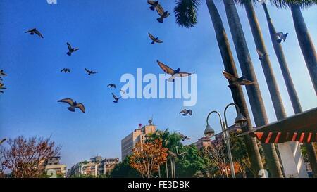 Basso Angolo di visione dei piccioni battenti contro il cielo blu chiaro Foto Stock