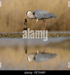 Airone cinerino (Ardea cinerea) con predati ratto marrone (Rattus norvegicus) nel becco, riflessione, Kiskunság National Park, Ungheria Foto Stock