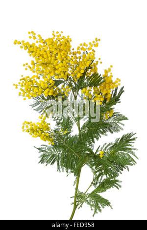 Rametto di fresca fioritura giallo mimosa su sfondo bianco Foto Stock 2a5f16ad6591