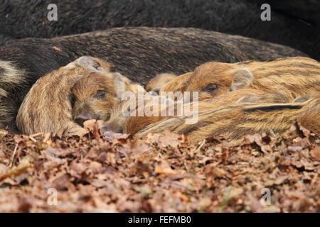 Sleeping Cinghiali Porcellini (Sus scrofa), la Foresta di Dean REGNO UNITO Foto Stock