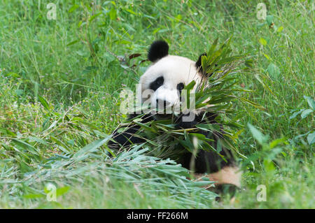 Adulto panda gigante (Ailuropoda melanoleuca) mangiando bambù, Cina conservazione e centro di ricerca, Chengdu Sichuan, Foto Stock