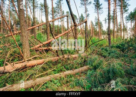 Manna nella foresta. Danni provocati dalla tempesta. Gli alberi caduti nella foresta di conifere dopo il forte vento uragano Foto Stock