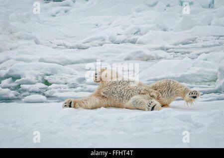 Adulto di Orso Polare, Ursus Maritimus, mostrando la sua pelle nera come lui pulisce se stesso mediante rullatura Foto Stock
