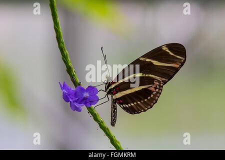Zebra Longwing Butterfly Heliconius charitonia su un fiore al Butterfly Estates in Fort Myers Florida Foto Stock