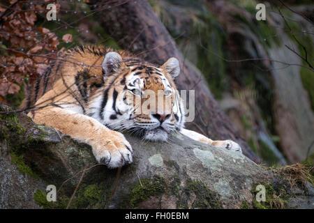 Maschio (Amur Siberian) tiger giacente su roccia, guardando annoiato Foto Stock