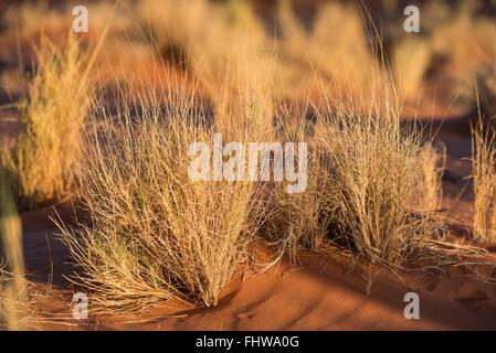 Ben adattato l'erba che cresce su una duna di sabbia nel deserto del Namib Foto Stock