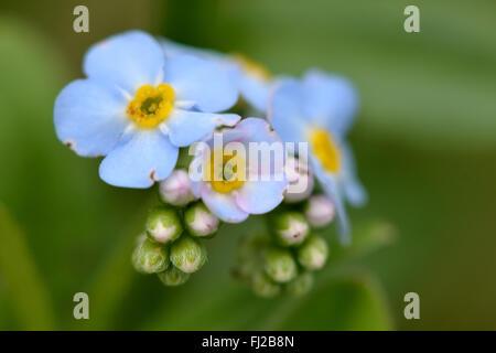 Dimenticare di acqua-me-non (Myosotis scorpioides). Un blu-fiorito semi-pianta acquatica nella famiglia Boraginaceae Foto Stock