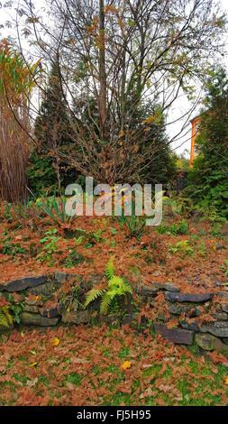 Giapponese larice (Larix kaempferi), ago foglie su un giardino di pietra con pietra a secco parete in autunno, Germania Foto Stock