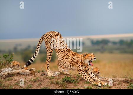 Ghepardo (Acinonyx jubatus), famiglia di Savannah, Kenia Masai Mara National Park Foto Stock
