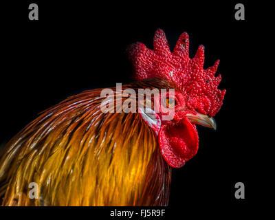 Close up della Rooster la testa con sfondo nero Foto Stock