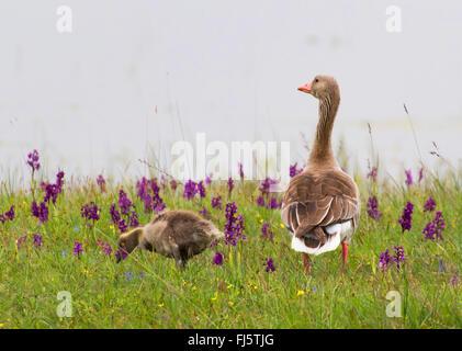 Graylag goose (Anser anser), vigile graylag goose madre in un prato di orchidee, Austria, Burgenland Foto Stock
