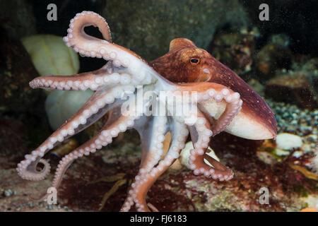 Moscardini, minor octopus, moscardino bianco (Eledone cirrhosa, Ozeana cirrosa), nuoto Foto Stock