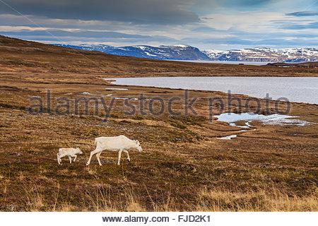 La renna nel nord della Norvegia, a Nordkapp Foto Stock