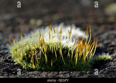 Vite a parete-moss (Tortula muralis). Un cuscino di un comune moss mostra sporophytes e color argento da nervi excurrent Foto Stock