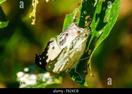 Protogoniomorpha Anacardii Duprei: un offuscato la madre-perla farfalla su una foglia a Ranomafana National Park Foto Stock