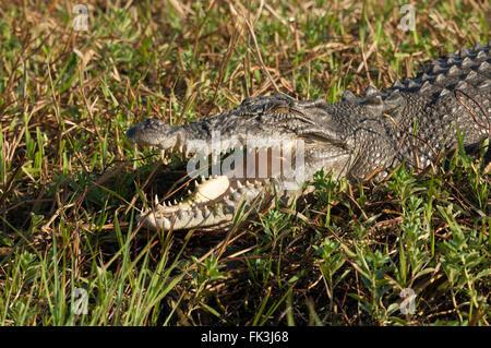 Coccodrillo di acqua salata (Crocodylus porosus), acqua gialla Billabong, Parco Nazionale Kakadu, Northern Territory, NT, Australia Foto Stock