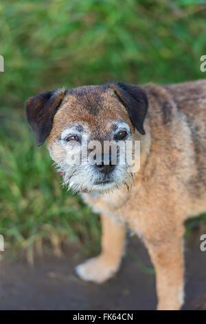 Anziani Border Terrier con superficie grigia Foto Stock