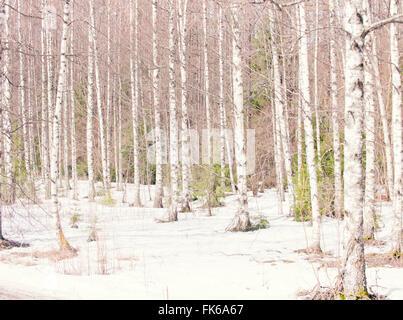 Argento di betulle in inverno, Norvegia, Scandinavia, Europa Foto Stock
