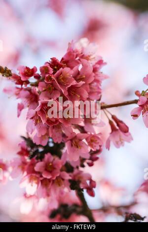 Fresche, albero in fiore in primavera con fiori di colore rosa Foto Stock