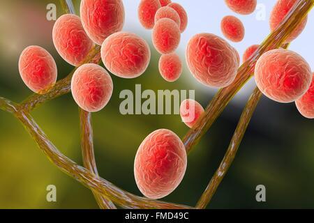 Computer illustrazione di Trichophyton mentagrophytes, la causa del piede d'atleta (tinea pedis) e cuoio capelluto tigna (tinea capitus). Entrambi questi pelle contagiosa di diffusione delle infezioni da fungo di spore (arancione). T. mentagrophytes è una di molte specie di funghi che possono crescere nella pelle umana, causando infiammazione e prurito. Il piede d'atleta e tigna sono trattati con farmaci antifungini.