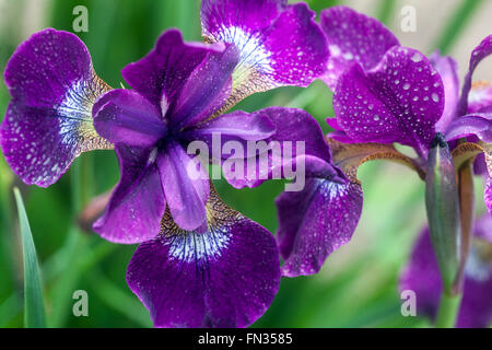 Iris sibirica siberiano iris, petali di colore blu Foto Stock