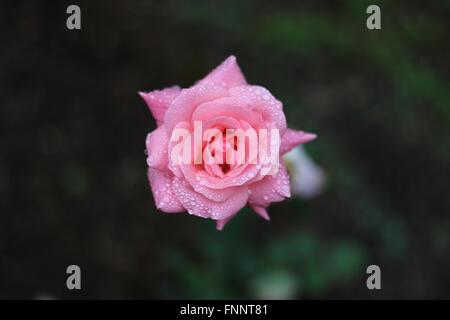 Una perfetta rosa rugiadosa single rose in un giardino Australiano. Foto Stock