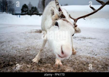 Le renne in Lapponia Rovaniemi FINLANDIA. La renna è una icona della Lapponia finlandese, e c'è una buona ragione Foto Stock