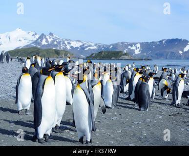 Re pinguini (Aptenodytes patagonicus) sulla spiaggia vicino la loro colonia nidificazione. Salisbury Plain, la Baia delle Isole della Georgia del Sud.