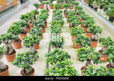 Ficus Ginseng in un vivaio Foto Stock