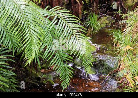 Verde foglie di felce in Westland National Park, Isola del Sud, Nuova Zelanda Foto Stock