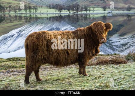 Curioso Highland bestiame al Buttermere su un gelido inverno mattina. Lake District, England, Regno Unito Foto Stock