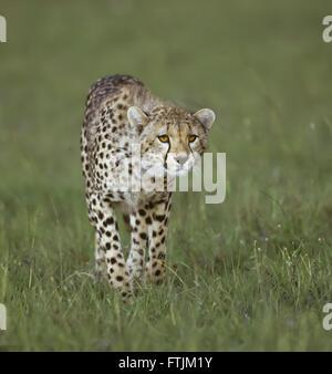 Caccia del ghepardo Foto Stock