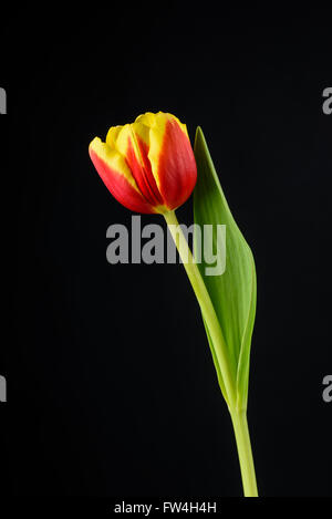 E rosso tulipano giallo su sfondo nero Foto Stock