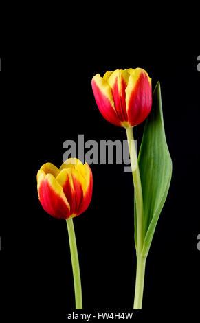 Coppia di rosso e tulipani gialli contro uno sfondo nero Foto Stock