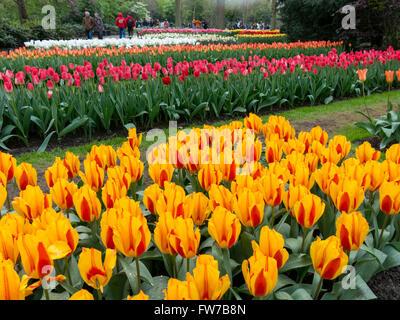Letti di tulipani in arancione, rosso e bianco nel parco Keukenhof, il giardino d'Europa a Lisse, South Holland, Paesi Bassi Foto Stock
