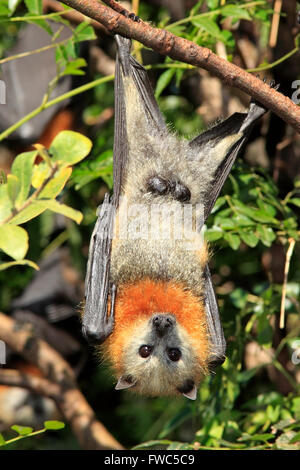 Testa Grigia Flying Fox, Pteropus poliocephalus. Voce maschile che mostra gli organi genitali. Foto Stock