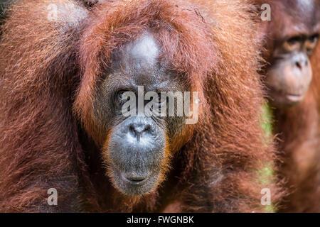 La madre e il neonato Bornean orangutan (Pongo pygmaeus), Semenggoh Centro di riabilitazione, Sarawak, Borneo, Malaysia, Foto Stock