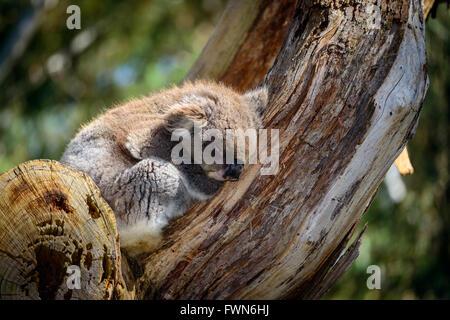Australian Koala bear dormire su un albero in un ambiente selvaggio Foto Stock