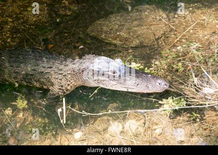 Close-up di testa del coccodrillo nella palude lungo la strada ad anello in Big Cypress National Reserve, Everglades, Florida, Stati Uniti d'America Foto Stock