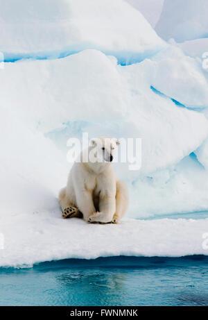 Orso polare (Ursus maritimus) sulla banchisa, Arctic selvatica Foto Stock