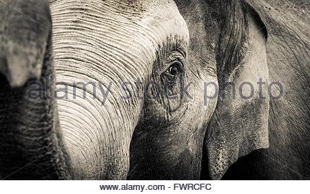 Elefante asiatico colpo alla testa. Foto Stock