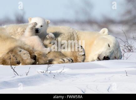 Madre di orso polare dorme con i cuccioli Foto Stock